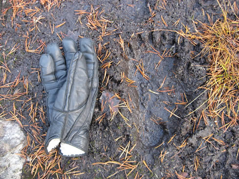 Footprints of a bear